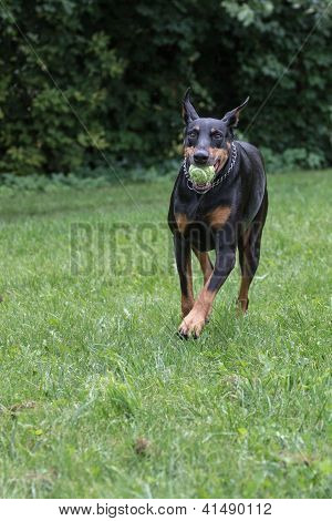 Doberman Pinscher fetching ball