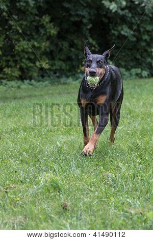 Doberman Pinscher fetching ball