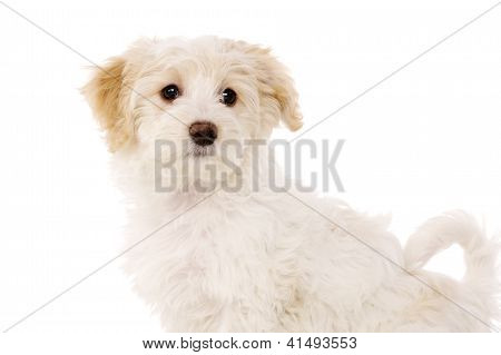 Puppy Sat Isolated On A White Background