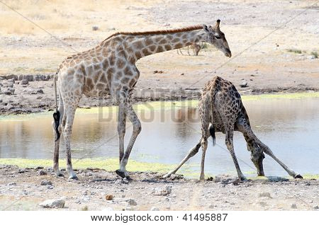 Two giraffes at a watering hole