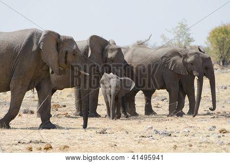 Herd of elephants in the savannah