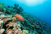 picture of grouper  - A Coral Grouper swims around a coral reef - JPG