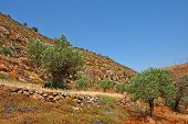 image of samaria  - Olive Grove on the Slopes of the Mountains of Samaria Israel - JPG