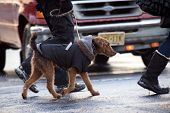 foto of dog-walker  - Dog in the jacket and shoes on a walk around the city in winter - JPG