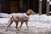 stock photo of dog-walker  - Dog in the jacket and shoes on a walk around the city in winter - JPG