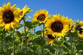 Blooming Sunflowers (Helianthus)