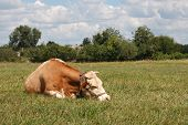 Photo of cow sleeping in the grass against the blue sky with clouds.