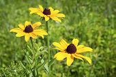 foto of black-eyed susans  - Wild black eyed susans in a meadow in Central New Jersey.