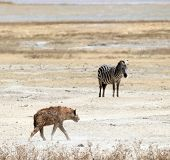 Hyena and Zebra