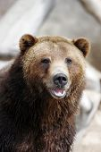 stock photo of grizzly bears  - close - JPG