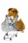 foto of guinea pig  - guinea pig is making shopping with a shopping car on white - JPG