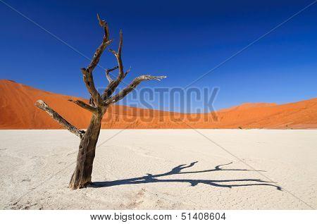 Dead Acacia Tree In Sossusvlei Pan, Namibia