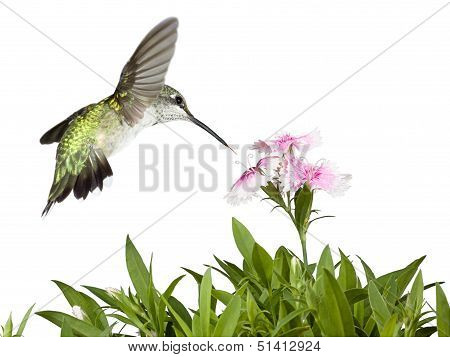 Hummingbird And Dianthus