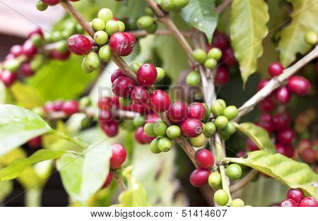 Fresh Coffee Beans.