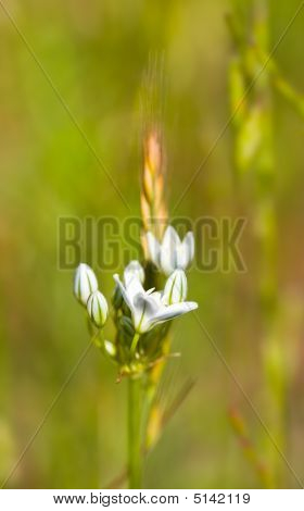Brodiaea branco, Triteleia Hyacinthina ou Hyacinth selvagem
