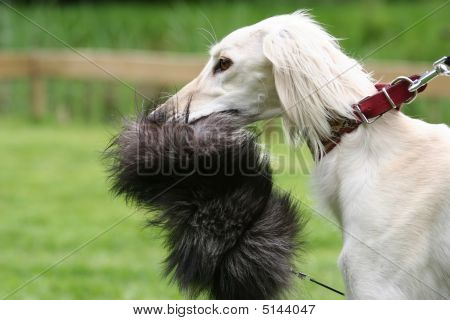 Saluki Sighthound With The Lure
