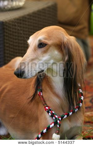 Saluki Sighthound