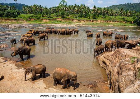 Elephants Of Pinnawala Elephant Orphanage Bathing In River