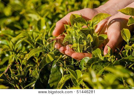 Landscape With Green Fields Of Tea In Sri Lanka