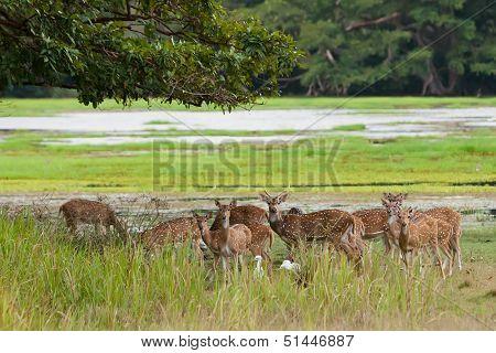 Herd Of Sri Lankan Axis Deer In Yala National Park