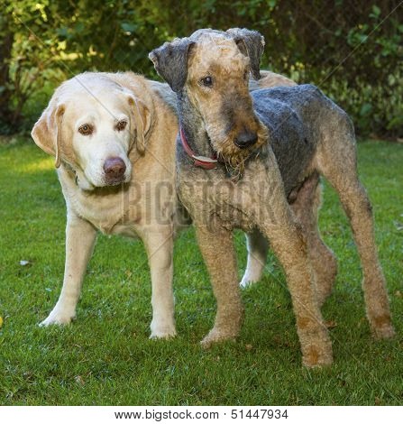 Yellow Lab and Airedale standing in the grass