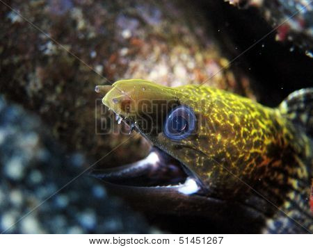 Undulated moray