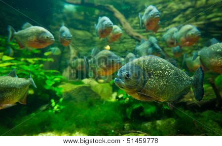 Many Piranha in aquarium in Tropicarium