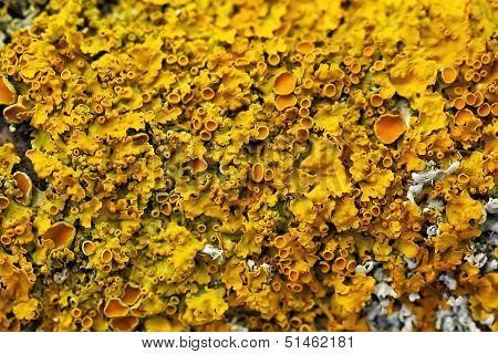 yellow lichen macro