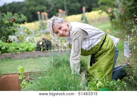 Senior woman planting aromatic herbs in kitchen garden