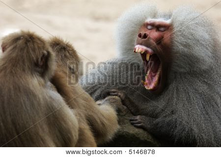 Baboon Showing His Teeth