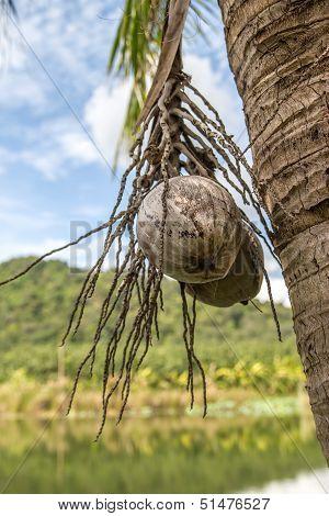 Nearly Fall Wilt Cocoa Nut On Coconut Tree