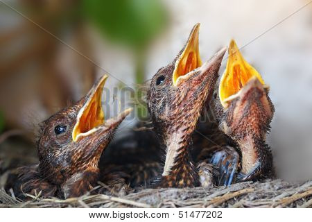 Bird Nest With Young Birds - Eurasian Blackbird