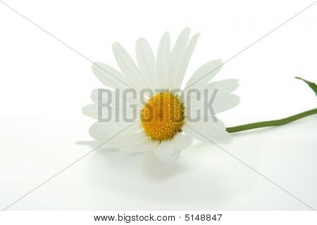 Daisy Flower Isolated