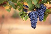 Large bunches of ripe black grapes on vine poster