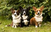 image of corgi  - three Welsh Corgi Pembroke dogs  sitting on the grass - JPG