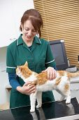 picture of vets surgery  - Female Vet Examining Cat In Surgery - JPG