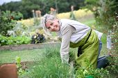stock photo of 50s 60s  - Senior woman planting aromatic herbs in kitchen garden - JPG