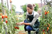 stock photo of apron  - Woman in kitchen garden picking tomatoes - JPG
