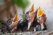stock photo of songbird  - Bird nest with young birds  - JPG