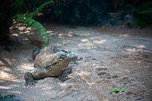 picture of komodo dragon  - komodo dragon in nature, Indonesia^ Bali island ** Note: Shallow depth of field - JPG