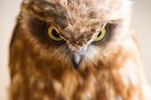 image of angry bird  - angry face of an owl wild wild bird - JPG