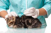 image of veterinary  - Little kitten getting a vaccine at the veterinary clinic close - JPG