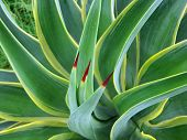 image of spiky plants  - Yucca plant shot up close with three prominent red ended stems - JPG
