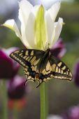 Постер, плакат: Бабочка на белый тюльпан