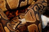 image of harmless snakes  - Photo of a ball python eating one white mouse