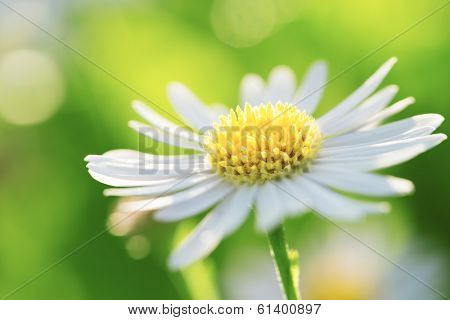 Fresh wildflowers spring or summer design. Floral nature daisy abstract background in green and yellow