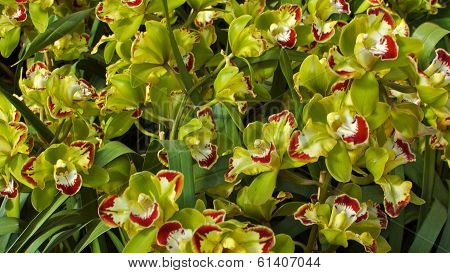 Green Orchids in Blossom