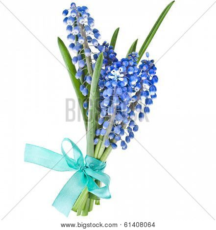 Blue Spring  bouquet of Flowers Muscari wrap ribbon bow Isolated on white background