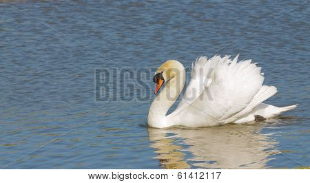 Male swan (Cob) swimming with a reflection in the water