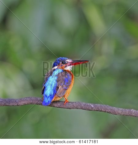Female Brown-winged Kingfisher